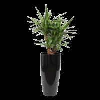 Yucca verzweigt, Ziertopf + Wasserzähler L