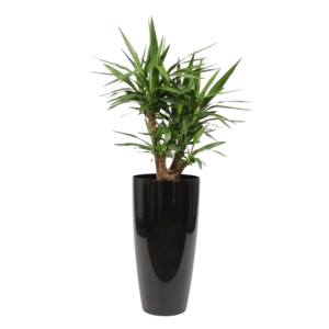 Yucca pot de fleurs, ornemental et ramifié L