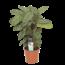 Calathea Compactstar - Prayer plants
