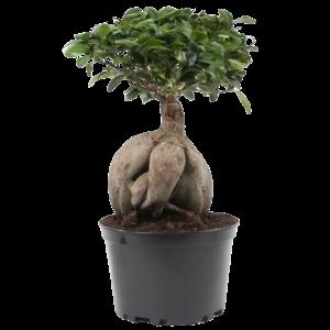 Bonsai Ficus Ginseng en pot en plastique 24