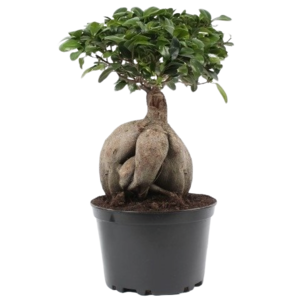 Bonsai Ficus Ginseng in 24 plastic pot