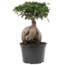 Bonsai Ficus Ginseng in 24 Plastiktopf