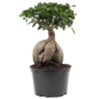 Bonsai Ficus Ginseng in 24 Plastiktopf