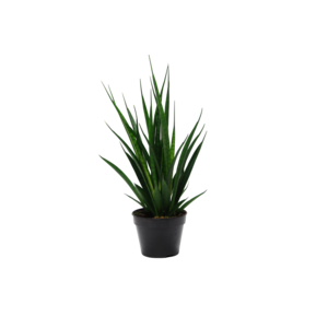 Sansevieria Kirkii Friends