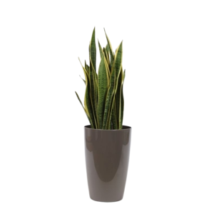 Sansevieria Laurentii, ornamental pot water meter M