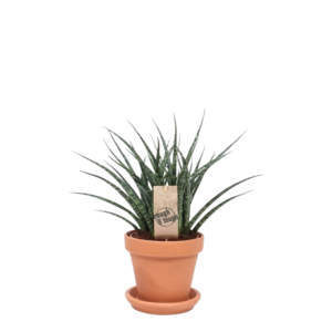 Sansevieria In terra Cotta