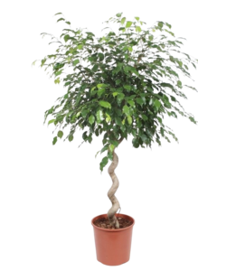 Exotica, a beautiful spiral-shaped houseplant.