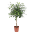 Ficus Exotica, a beautiful spiral-shaped houseplant.
