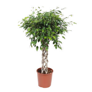Ficus Exotica sleeve strap, top quality