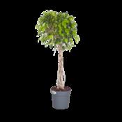 Ficus Exotica - geflochtener Pflanzenstamm