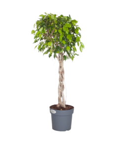 Exotica - geflochtener Pflanzenstamm
