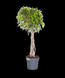 Exotica - gevlochten plantstam