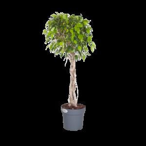 Ficus Exotica - braided plant stem
