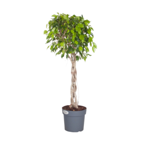 Ficus Exotica - tige végétale tressée
