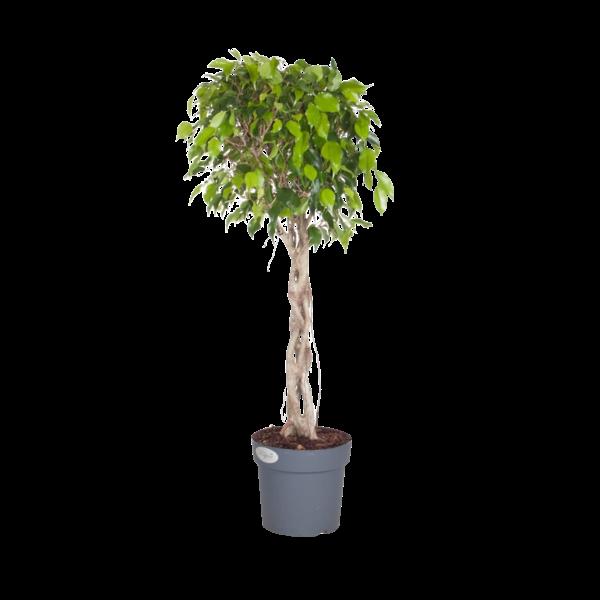 Ficus Exotica - gevlochten plantstam