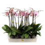 Phalaenopsis 2 Zweig rosa