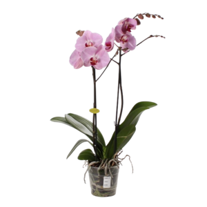 Phalaenopsis 2 branch pink