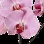 Phalaenopsis 2 tak roze