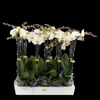 Phalaenopsis 2 Zweig großen blühenden weißen