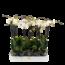 Phalaenopsis 2 branche grand blanc fleuri