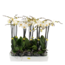 Phalaenopsis 2 tak grootbloemig wit