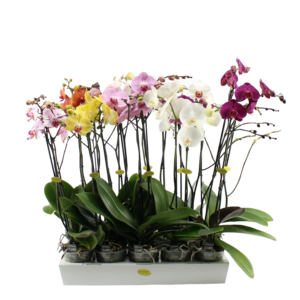 Phalaenopsis 2 branch mixed