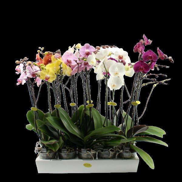 Phalaenopsis 2 Zweige gemischt