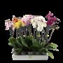 Phalaenopsis 2 branches mixtes
