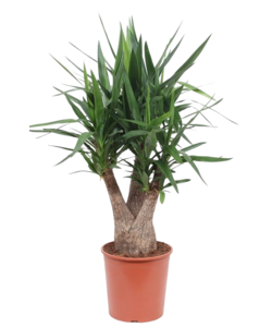 Elephantipes branched - Palm lily