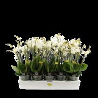 Phalaenopsis Multiflora weiß 4 Zweig