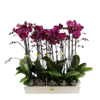 Phalaenopsis 2 Zweig lila