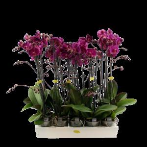Phalaenopsis 2 branch purple