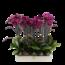 Phalaenopsis 2 branches violet
