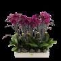 Phalaenopsis 2 tak paars