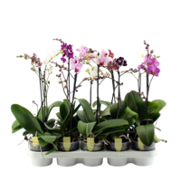 Phalaenopsis 1 branch mixed