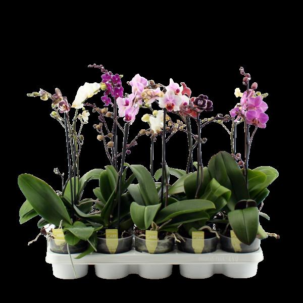 Phalaenopsis 1 Zweig gemischt