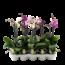 Phalaenopsis 1 tak gemengd