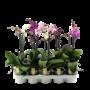 Phalaenopsis 1 branche mixte