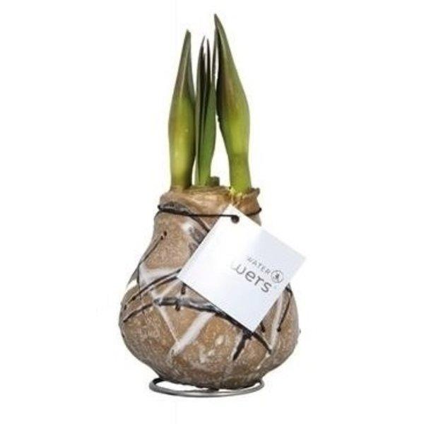 Amaryllis Keine Wasserblumen Waxz® Art Rembrandt