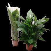 Spathiphyllum Süßer Sebastiano - Luft so rein