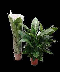 Sweet Sebastiano - Air so Pure - Peace Lily