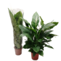 Spathiphyllum Sweet Sebastiano - Air so Pure