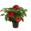 """Hibiscus XXL rot """"extrem eiche rot"""""""