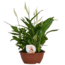 Spathiphyllum Chopin® - in schaal Air So Pure