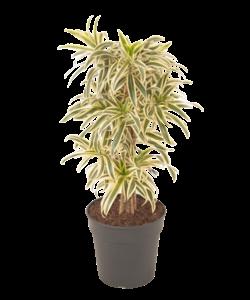 song of india - Dragon tree, Century plant