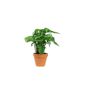 Monstera Pot de masque de singe 12 cm - terre cuite