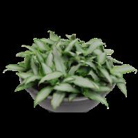 Murdannia loriformus  Bright Star in bowl 40 cm