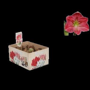 Bollen Amaryllis (dry bulb 28/30 cm) Pink