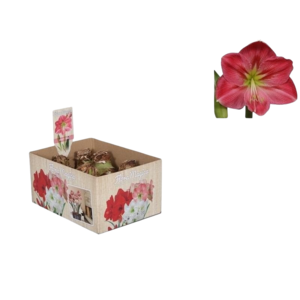 Bollen Amaryllis (Trockenbirne 28/30 cm) Pink