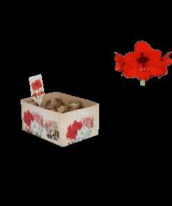 Amaryllis (bulbe sec 32 cm) Rouge